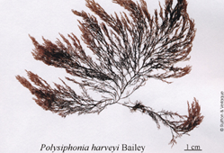 Buiswier (Polysiphonia harveyi)